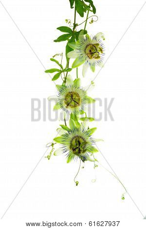 Blooming Fresh Branch Passionflower Flower With Bud  And Tendril Is Isolated On White Background