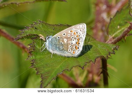 Common blue butterfly on bramble leaf
