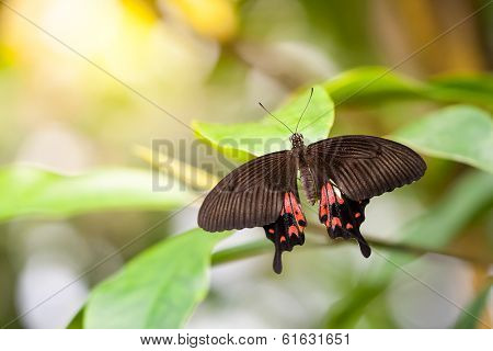 An image of a butterfly - Parides Photinus