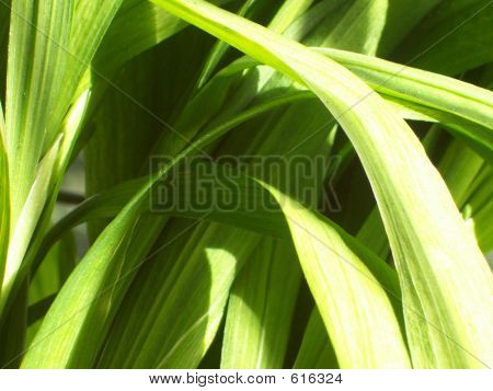 Green Freesia Leaves