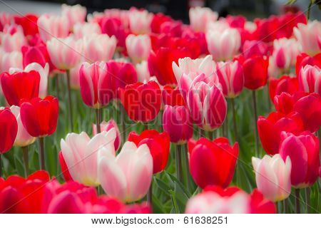 Field of tulips in spring.