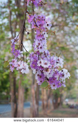 Tabaek Bungor flower