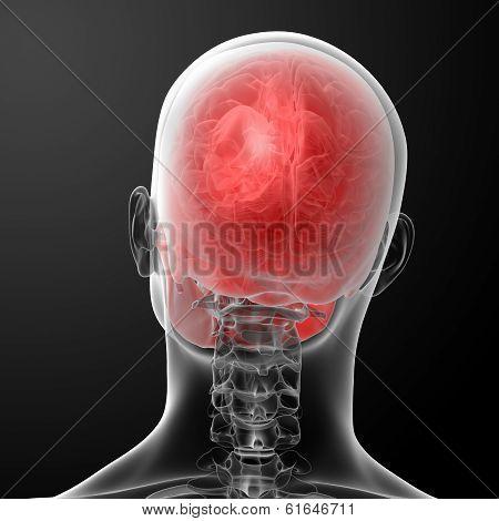 3d render human skull anatomy