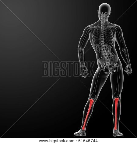 3d render illustration of the human tibia