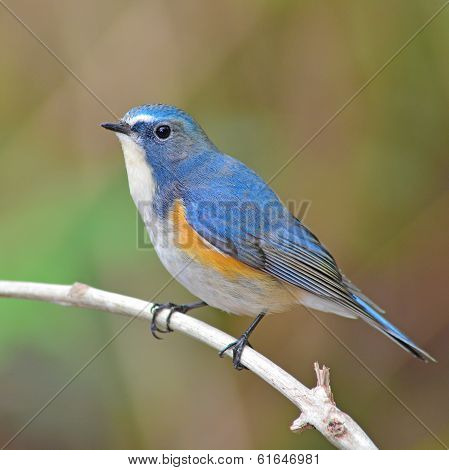 Red-flanked Bluetail Bird