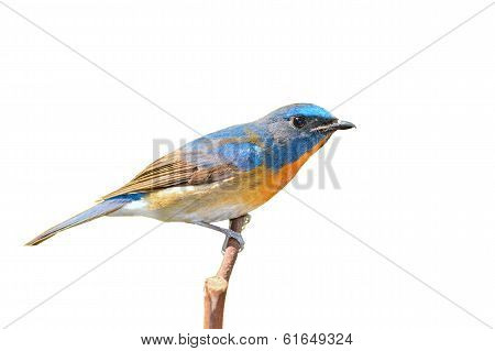 Chinese Blue Flycatcher Bird