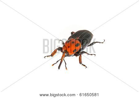 Beetle With Colored Armor Isolated On White. Sternocera Aequisignata