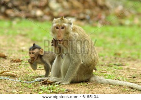 Cambodian Monkeys