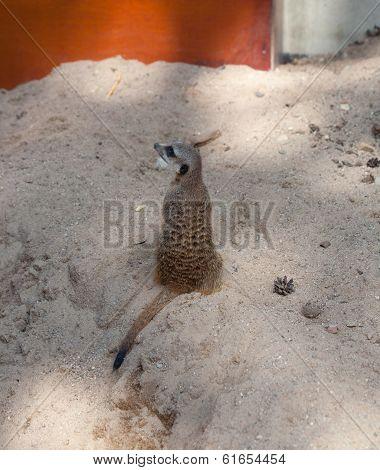 Suri?at (suricata Suricatta)