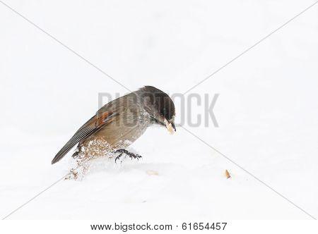 Siberian Jay Bird Eat On Snow At Winter