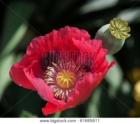 Corn Poppy Red Flower