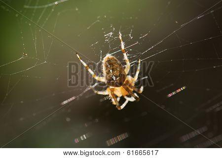 Garden Cross Spider On The Spiderweb
