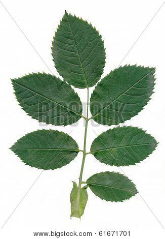 green leaf of wild rose bush in summer