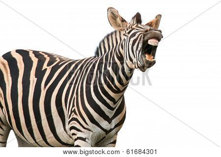 Shouting Or Laughing Zebra