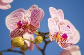 stock photo of orquidea  - A close up of a branch with blossomed pink striped petals of the beautiful flower orchid Phalaenopsis - JPG