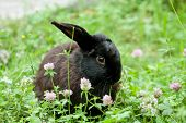 picture of cony  - Little black rabbit hidden in the grass - JPG