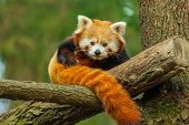 stock photo of pandas  - The red panda also called lesser panda and red cat - JPG