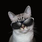 stock photo of personality  - A white cat is wearing sunglasses on a black background with party lights around the feline - JPG