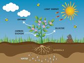 foto of photosynthesis  - a illustration of photosynthesis in general plant - JPG