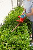 picture of electric trimmer  - Woman trimming bushes in her backyard using an electrical hedge trimmer - JPG