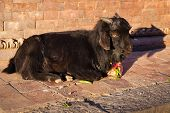 image of billy goat  - Black Goat Lying In The Street in the sunlight - JPG