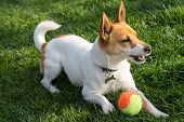 stock photo of foxhound  - a dog jack Russel with a ball in a park - JPG
