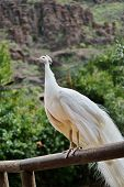 picture of indian peafowl  - White peacock male or Indian peafowl outdoor - JPG
