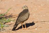 picture of goshawk  - Juvenile Gabar Goshawk standing on the dry red Kalahari sand searching for prey - JPG