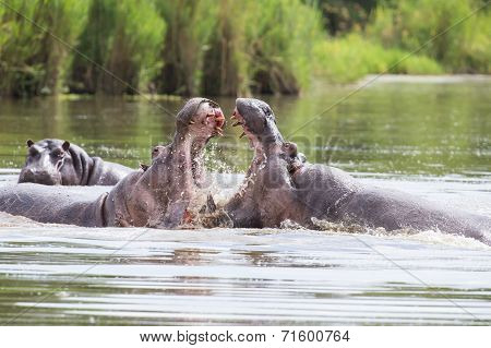 Two Huge Male Hippos Fight In Water For Best Territory