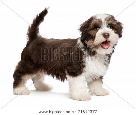 Beautiful Smiling Chocholate Havanese Puppy Dog Is Standing