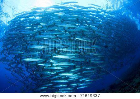 Fish (Barracudas)
