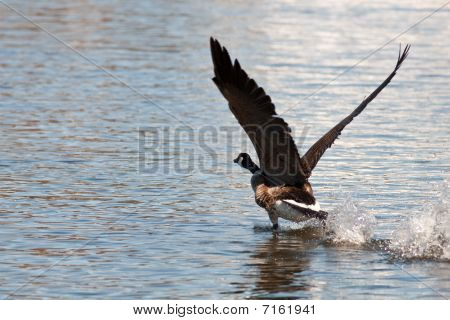 Canadian Goose Ready to Take Off