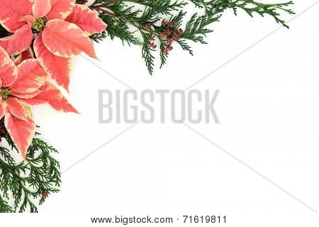 Poinsettia flower thanksgiving background border with cedar cypress leaf sprigs over white.