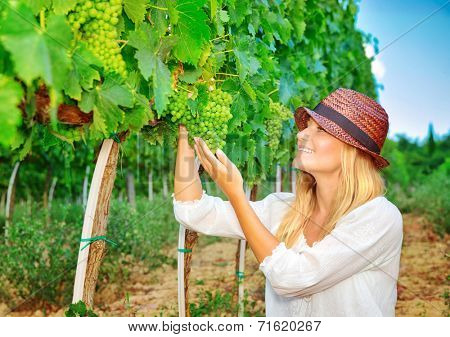 Woman plucks grapes from vineyard, young farmer gardening at harvest season in Italy, Tuscany, countryside at autumn