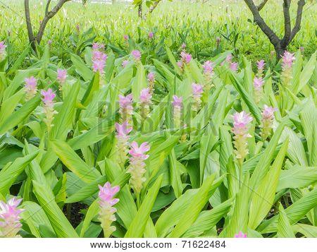 Curcuma Alismatifolia Or Siam Tulip