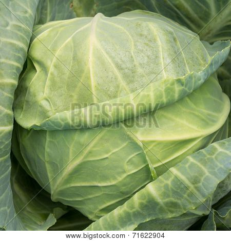 Green Ripe Cabbage