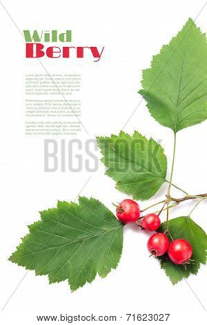 Copy Space Background With Branch Of Wild Hawthorn With Ripe Berries