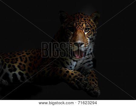 Lying Leopard