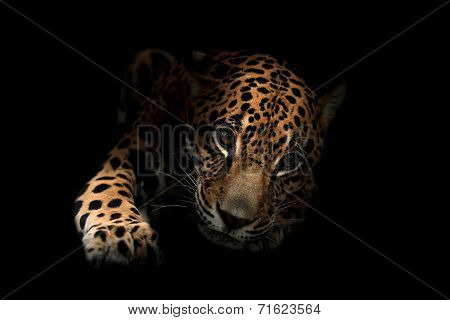 Jaguar ( Panthera Onca )in The Dark