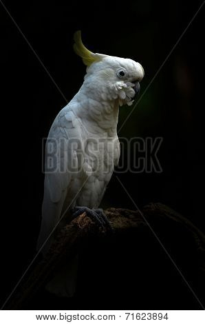 Yellow Lesser Sulphur-crested Cockatoo