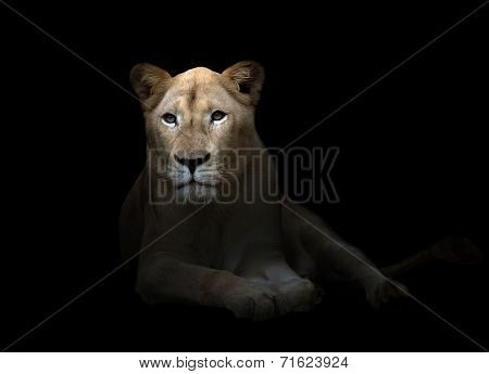 Female White Lion In The Dark