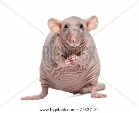 Hairless Rat (2 years old)