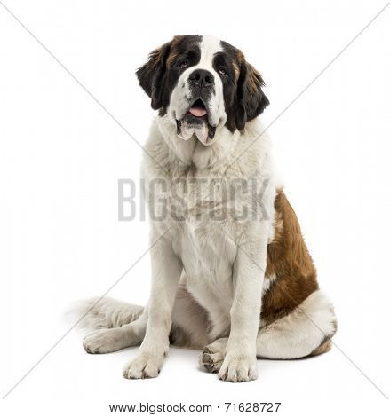 Saint-Bernard sitting