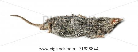 Dead White-toothed shrew