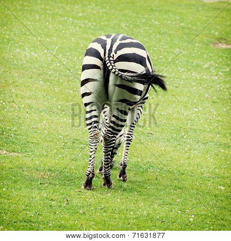 Rear View Of Zebra