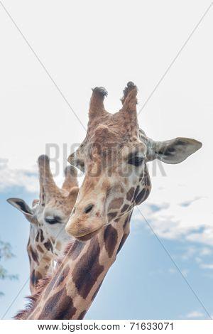 Giraffe Duo Head Shot - Vertical
