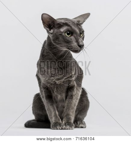 oriental shorthair sitting and looking away