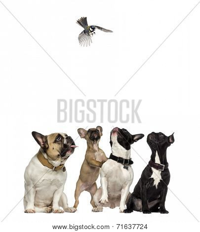 French Bulldogs looking with envy at a bird flying