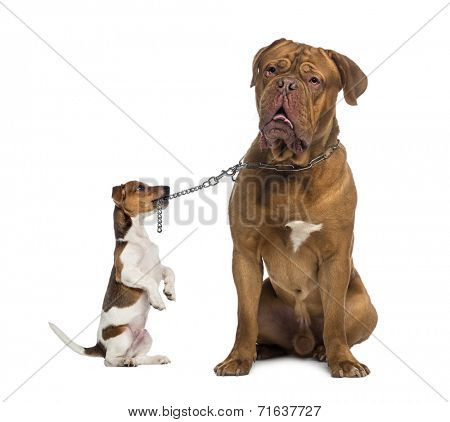 Jack Russell holding a Dogue de Bordeaux with a chain leash