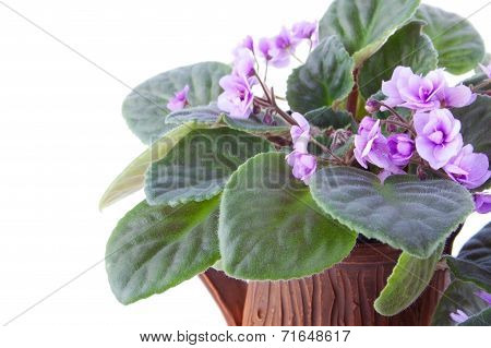 Delicate Lilac African Violet